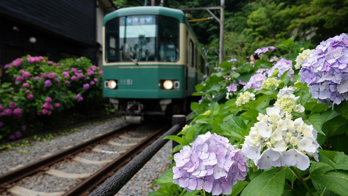 【梁旅珠專欄】紫色的夢:古都鎌倉繡球花散步之旅